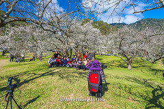 Harry_23316a,,,,,,,,,,,,,,,,,,,,Plum,Plum Tree,Tree,Fruit,Farm (HarryTaiwan) Tags: tree fruit nikon farm plum taiwan     plumtree  d800                    harryhuang  hgf78354ms35hinetnet adobergb
