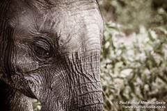 Elephant In Chobe National Park, Botswana (NativePaul) Tags: africa travel vacation holiday game nature animal honeymoon northwest wildlife may roadtrip safari naturereserve wildanimal botswana chobe kasane gamepark wildanimals gamereserve southernafrica 2014 sadc may2014