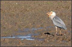 I LOVE CARP (ESOX LUCIUS) Tags: fish holland bird taco carp goereeoverflakkee greyheron 2015 karper blauwereiger