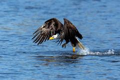 Bald Eagle (Mick Thompson1) Tags: