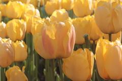 _MG_4316 (Gkmen Kmrt) Tags: flower tulip 2015 emirgan laleler