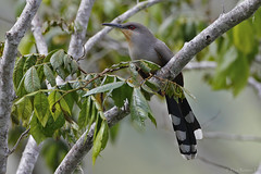 Pájaro Bobo (Coccyzus longirostris) Hispaniolan Lizard Cockoo (Dax M. Roman E.) Tags: republicadominicana pasobajito lasal cordilleracentral pájarobobo laespañola coccyzuslongirostris reservacientificaebanoverde hispaniolanlizardcockoo rcev