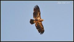 Golden Eagle flying high... (ltodd1) Tags: golden near dam eagles kerr