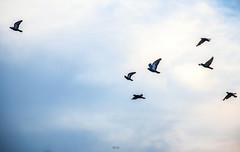 IMG_4958 (Mrigank Gupta) Tags: blue sky india bird birds clouds fly pigeon pigeons flight away move follow leader mysore mrigank mrigankgupta mrigankphotography