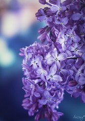 Lilas (ancoay) Tags: flowers flores flora bokeh lilacs lilas flors liles canon600d ancoay