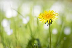 Behind the sun (Fabien Husslein) Tags: blur flower nature fleur forest jaune gold soleil spring woods bokeh nuage foret printemps flou bois sous pissenlit