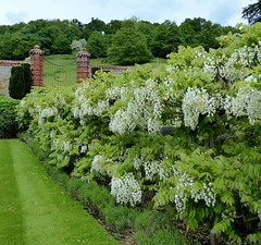 White Wisteria Walk (oh.suzannah) Tags: white blossom wisteria hedges