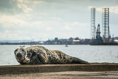 (Chris B70D) Tags: city bridge chris sun cute water ferry skyline canon river photography grey dundee wildlife bridges chillin tay coastal seal esplanade oil bathing broughty rigs 70d berridge vews