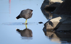 American Coot (maytag97) Tags: reflection pool pond hunting waterbird fowl waterfowl coot americancoot maytag97
