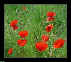 Les Coquelicots dans les champs de Boussires (francky25) Tags: les de champs franchecomt dans flore doubs coquelicots boussires