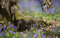 Sanctuary (windermere images) Tags: flowers light love beautiful sunshine bluebells wales forest woodland happy dance spring may warmth sing imagine magical