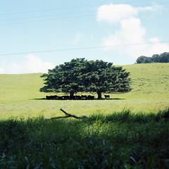 shade of a tree (TAT_hase!) Tags: film hawaii kodak c hasselblad bigisland portra planar 160 80mm carlzeiss 503cxi