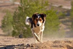 DSC_1608T (juliannahiaasen) Tags: portrait dog pet dogs animal training photography bordercollie australianshepherd dogphotography dogtraining dogportrait dogphotographer