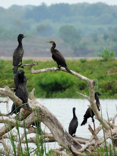 Weerawila Lake - Indian Shags