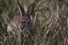 Wild cottontail rabbit (z_a_r_a_11) Tags: wild rabbit bunny nature colors grass nikon bokeh faded d750 cottontail