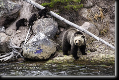 Grizzly and three cubs (Daryl L. Hunter - Hole Picture Photo Safaris) Tags: usa unitedstates wildlife yellowstonenationalpark wilderness predator endangeredspecies grizzlycubs grizzlysow daryllhunter cubsoftheyear berylspringsow