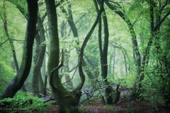 Arms, shot in Low Scrubs, Ellesborough (explored 13 May 2016) (greeneyedlens) Tags: wood morning england mist fog bluebells