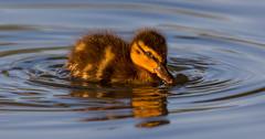 chick (Topolino70 **** Thanks for Million Views! *****) Tags: bird sigma chick linnunpoikanen canon600d 150600mm harmaasorsa
