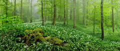 in the forest of wild garlic (eric cadreur) Tags: wood wild panorama green nature misty forest germany spring blossom foggy rainy bloom garlic brlauch hegau