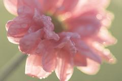 Flower  (sabrinasteiger1) Tags: light flower macro nature lights licht drops spring bokeh natur blume makro blte nahaufnahme tropfen frhling blten pastell frhlingsblume