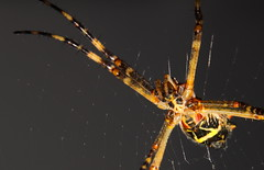 spider (aqualouco) Tags: macro spider inseto aranha marcophoto insectmacrophoto canont5i