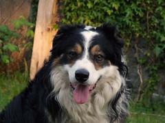 Just Laddie. (Mike & Indy) Tags: portrait dog dogs collie laddie border explore bordercollie northwales llanfairfechan