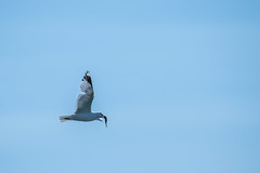 Dinner (jpetcoff) Tags: sea sky food fish bird dinner flying yum eating gull eat