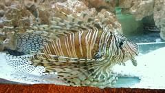 Pez len #acuario #fish #pez #sea #aquarium #chile (Camila Rojas Esparza) Tags: chile sea fish pez aquarium acuario