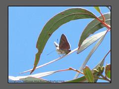 Jewels (Douglas Dew butterflies) Tags: moonlight jewel hypochrysops delicia