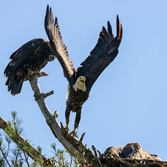 Dad!! She's Not Sharing! (20160713-105514-PJG) (DrgnMastr) Tags: bravo fb cropped eagles baldeagles eaglets coth littlestories avianexcellence diamondclassphotographer flickrdiamond sacrednature naturesspirit picswithsoul dmslair sunshinegroup grouptags allrightsreserveddrgnmastrpjg pjgergelyallrightsreserved ia55