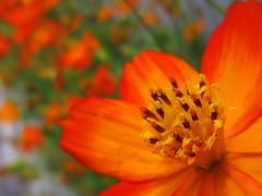 (ebi-katsu) Tags: plant flower canon cosmos ixy    930is