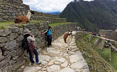 Lamy na Machu Picchu | Lamas at Machu Picchu