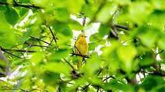 Resplendent Yellow Warbler (mike_photograph) Tags: yellow forest birds bird nature animals animal tree summer beautiful cute green wildlife wild feather jaune tail plumage oiseau serin canary warbler natural world photograph canaria pics foret serinus