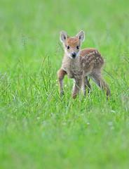 Tiny! (Wildlife Online) Tags: baby animal mammal wildlife fawn britishwildlife whipsnadezoo cwd zsl chinesewaterdeer deerfawn waterdeer hydropotesinermis hydropotes britishdeer ukdeer marcbaldwin wildlifeonline babychinesewaterdeer waterdeerfawn