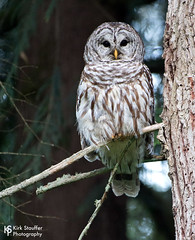 Barred Owl (Kirk Stauffer) Tags: seattle wood wild usa color tree cute nature beautiful june outside us wings woods nikon pretty branch sweet wildlife awesome great feathers adorable wash raptor precious wa fowl mammals darling kirk d5 stauffer duvall woodinville plumage 2016 kirkstauffer