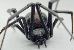Viuda Negra (Latrodectus) (mamd_) Tags: naturaleza macro canon ojos patas nikkor boca detalles insecto bello pelos micronikkor pk13 colmillos arcnido 55mmf28 macrofotografa macroextremo eos1200d eosrebelt5