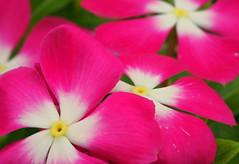 Brighten Your Day (Explore 7-12-16) (VarietyHour) Tags: plant flower bright outdoor petal periwinkle vinca plantsinmacro