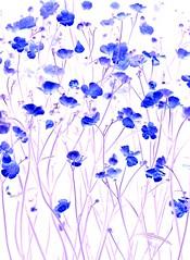 57395.04 Ranunculus acris (horticultural art) Tags: flowers ranunculus psychedelic wildflower ranunculusacris horticulturalart