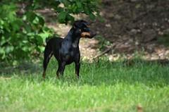 pinscher nain noir feu (marinaphoto17) Tags: dog chien animal noir animaux pinscher fauve nain domestique