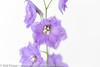 Delphinium Cameliard *4* (Zoë Power) Tags: flowers summer june purple whitebackground mygarden delphinium cameliarddelphinium