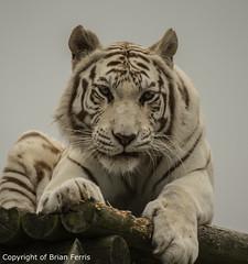 IMGP1968 (acornuser) Tags: uk kent pentax sanctuary bigcats whitetiger k3 wildlifeheritagefoundation whf