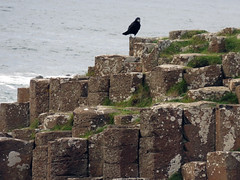 A crow poses on the striking hexagonal basalt rock formations of Giant's Causeway in Northern Ireland, UK (albatz) Tags: hexagonal basalt rockformations causeway northernireland uk giantscauseway ireland