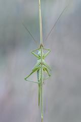 Observador (explore) (Rafael Díez) Tags: españa larioja nájera macro naturaleza verano saltamontes rafaeldíez simetria verde