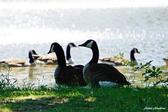 Canada Geese by the Lake (--Anne--) Tags: canada geese goose canadiangoose canadiangeese canadagoose canadageese bird birds birdwatching birdphotography park lake summer sunshine water