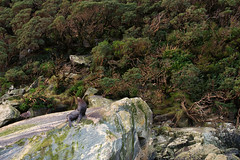 Poseur (Pat Charles) Tags: newzealand nz southisland milfordsound fjord fiord fiordland fjordland piopiotahi seal marine aquatic rock bird gull seagull albatross nikon trees travel tourism boat journey trip fiordlandnationalpark piopiotahimarinereserve tewahipounamuworldheritagesite fur furseal