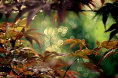 Almost Autumn (ursulamller900) Tags: maple ahorn bokeh telemegor180