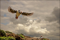 BY THE WINGS OF DREAMS (henrhyde (gill)) Tags: bird seabird sea sky puffin flight fly flying clouds skomer island pembrokeshire coast neildiamond jonathanlivingstonseagull richardbach music song