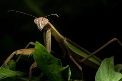 DSC_8660 (Lopshire Photography) Tags: mantis predator prayingmantis chinesemantis entomology arthropod lopshirephotography lopshire bugs sigma pocketwizard 3leggedthing