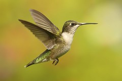 Juvenile Ruby-throated Hummingbird (Archilochus colubris) (Steve Byland) Tags: rubythroated hummingbird archilochus colubris bird nature canon 7d markii