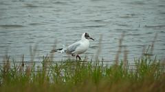 IMGP9411 (greg18500) Tags: marais suscinio oiseaux mouette